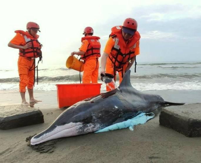 桃園潮音海岸 救援保育糙齒海豚