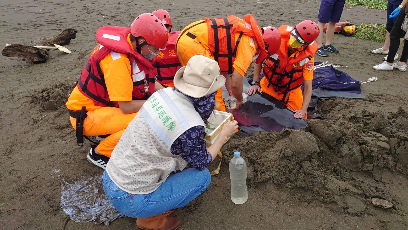 小抹香鯨擱淺桃園海岸 環海同盟齊力救治 今於基隆外海野放成功